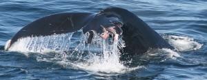 Wal mit verletzter Schwanzflosse: unzählige Meeressäuger werden von Schiffsschrauben aufgeschlitzt. Foto: WDC