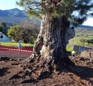Die Pino de la Virgen in El Paso: Boden frei gemacht, damit Regenwasser gut an die Wurzeln kommt. Foto: El Paso