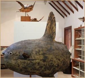 inselmuseum-la-palma-mondfisch