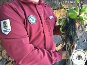 Erst vor ein paar Monaten beschlagnahmte das Inselumweltamt Wasserhyazinthen: Jetzt wurden schon wieder um die 120 dieser bioinvasiven Pflanzen eingezogen. Foto: Cabildo