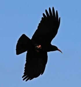 Die Graja: Der Wappenvogel von La Palma ist nur einer von 50 Arten, die hier nisten. Foto: Michael Kreikenbom