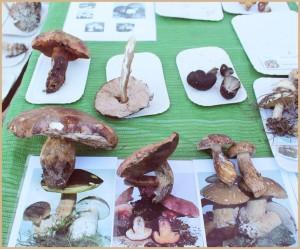 Nach dem Sammeln am Samstag: Pilze von La Palma werden bestimmt.