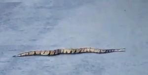 Ein Foto der Python: Wer sie sieht, sollte die Behörden verständigen.
