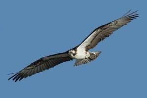 Fischadler: