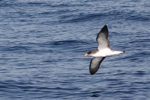 Gelbschnabel-Sturmtaucher: leben auch auf der Isla Bonita. Foto: Wiki/Martina Nolte