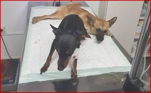 Tierarzt-Kosten: Wer einen Vierbeiner bei Benawara adoptiert, erhält einen Rabatt. Ansonsten übernimmt der Verein die Veterenärskosten bei Notfällen. Die Gemeinden Los Llanos und Tazacorte bezahlen Sterilisationen von Streunern.