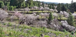 Im Januar beginnen die Mandelbäume in Puntagorda zu blühen: