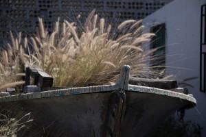 Pennisetum setaceum allerorten: Hier wuchert es in einem Boot in El Remo vor sich hin - vielleicht sogar zur Zierde, denn das Lampenputzergras wurde einst als Zierpflanze eingeschleppt, weil niemand wusste, dass es ein gefährlicher Bioinvasor ist. Foto: Werner Fornica