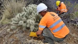 Die Cylindropuntia sprießt an der Hauptstraße zwischen Los Llanos und El Paso: Eliminierungsmaßnahmen haben begonnen. Foto: GobCan
