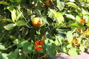 Finca El Rincón: Orangenbäume wachsen zwischen Kapuzinerkresse und Kräutern: Das gibt Schatten für die Bume, sonst wären sie im Dauerstress. Foto: La Palma 24