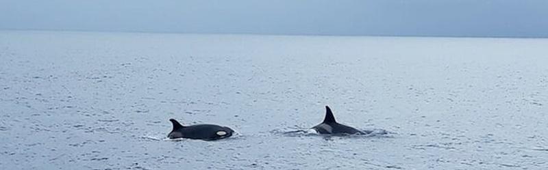 Killerwale vor La Palma. Am Montag dieser Woche wurde vor der Küste von Fuencaliente drei Orcas gesichtet. Fischer haben das der Internetzeitung El Diario gemeldet und Felipe del Pino Pérez hat das Beweisfoto geschossen.