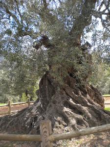 Ölbäume: Cabildo fördert die Olivenproduktion. Foto: Vulcano/Wikipedia