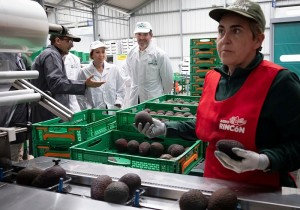Fernando Clavijo Batlle besucht Agrorincon auf Teneriffa: Hier werden auch exotische Früchte wie Avocados aus La Palma zum Export vorbereitet. Foto: GobCan