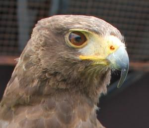 Das Original muss sein: Fake-Falken oder Robussarde