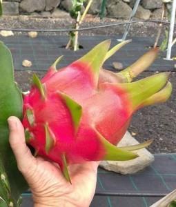 Pitayas: Die kaum beachteten Drachenfrüchte sollen mehr Bedeutung erlangen. Foto:
