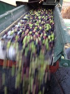 Olivenernte: Die kleinen Früchtchen müssen nach der Ernte so schnell wie möglich gepresst werden, sonst steigt der Säuregehalt. Foto: Ramón Bejarano